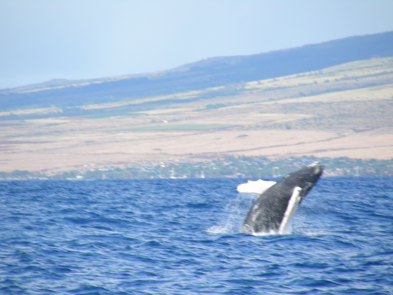 Hawaii Whale Watching - Late November to mid-AprilHawaii ...