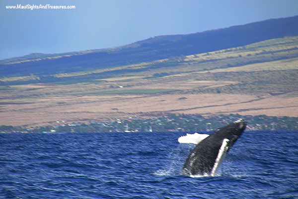 MV_Maui's-Peak-Whale