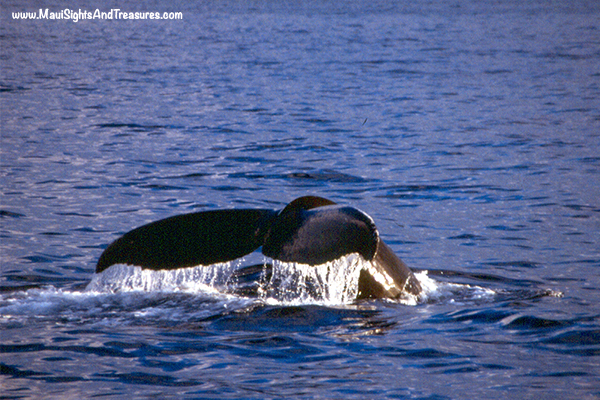 MV_Whale-Season-Maui
