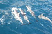 Prime Rib Dinner Cruise Maui Hawaii-Dolphins