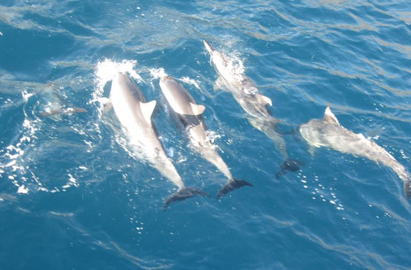Prime Rib Dinner Cruise Maui Hawaii-Dolphins