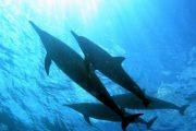 Scuba Maui Dolphins
