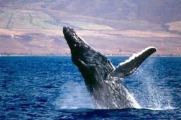 Whale Breach Maui
