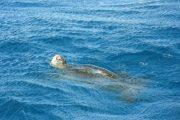 Turtle snorkel maui