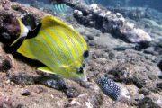 Yellow Tang Scuba Maui
