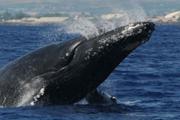 star_of_honolulu_whale