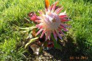 Protea flower Maui