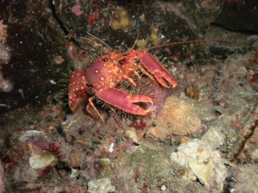 Scuba Luv Maui Lobster