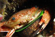 B&B scuba crab Maui