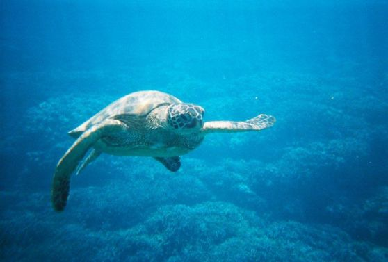 Ocean Riders Lanai Snorkel Turtles