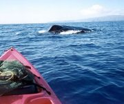 South Pacific Kayak Whale watch