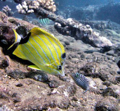 Scuba Luv Maui Tropical Fish
