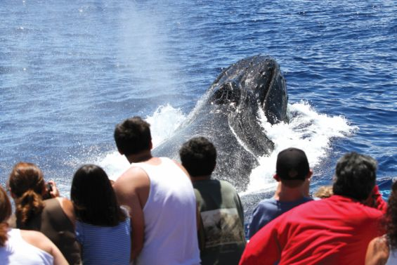 Alii Nui Whale Watch