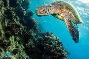 Pride-of-Maui-Turtle