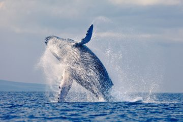 Pride -of-Maui-Whale-Watch