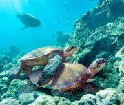 Pride of Maui Afternoon Snorkel turtles