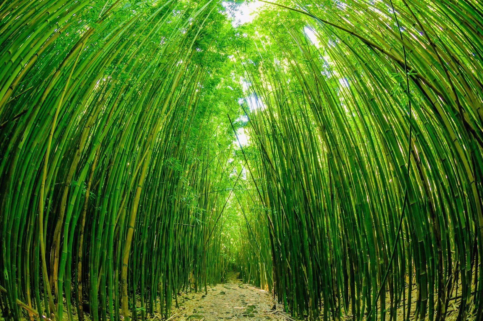 Haleakala National Park Bamboo Forest