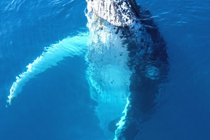 Whale-watch-Maui-Pacific-Whale-Foundation