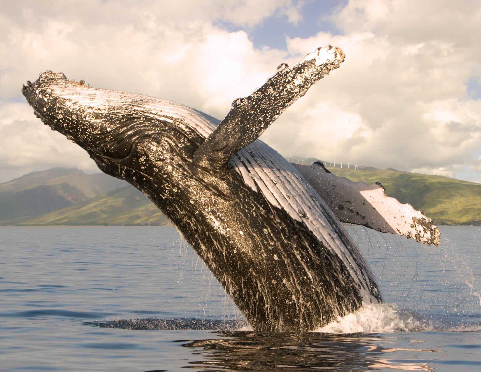Whale-watches-Maui