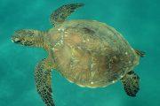 Turtle-Snorkel